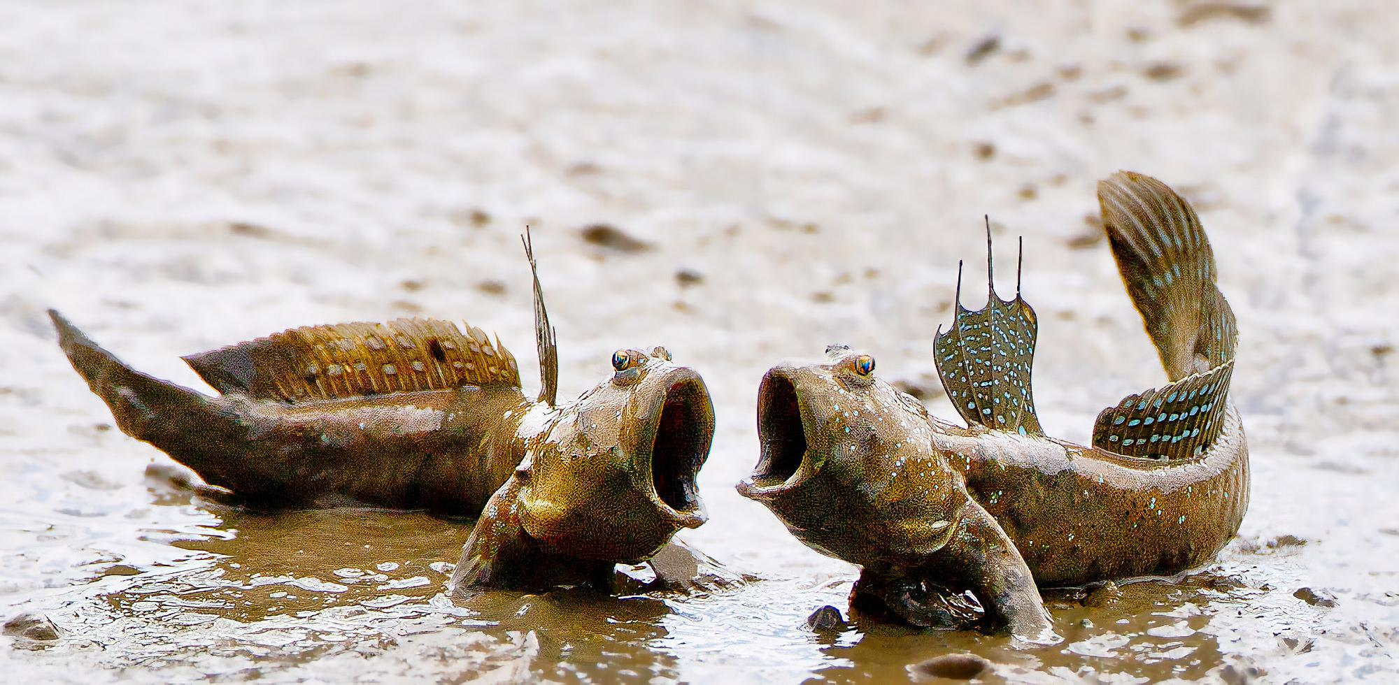 Mudskipper photo
