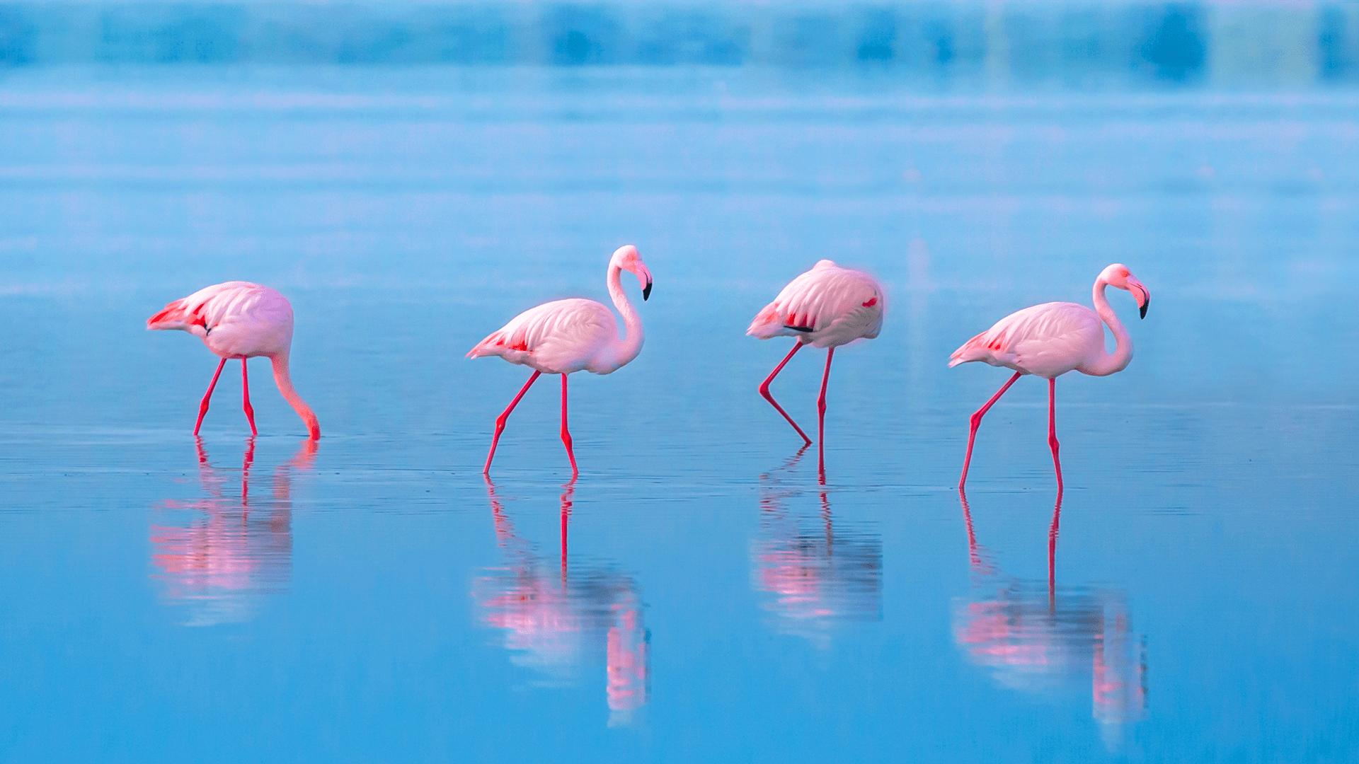 Details about  /HIGEPink Flamingo Morning GloryTRUE Brilliant Vivid Bright PinkSeeds