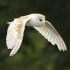 Owl Ambush