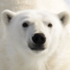 Why are polar bears white?
