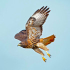 Why would a hawk move to New York City?