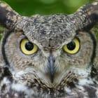 "Why do owls say ""hoo""?"