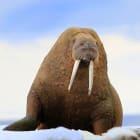 How do polar animals survive the cold?