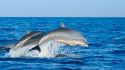 Can a shark and a dolphin have babies?
