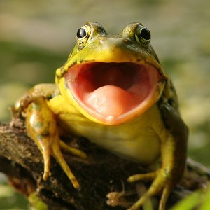 Why do frogs say