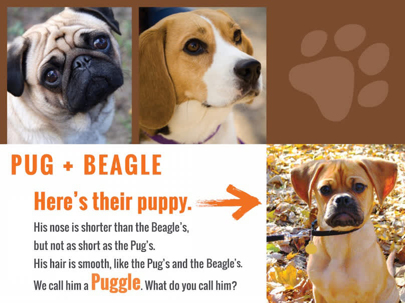 pug-beagleanswer