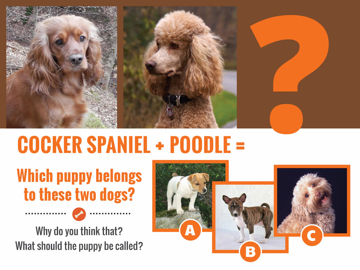 cockerspaniel-poodlequestion