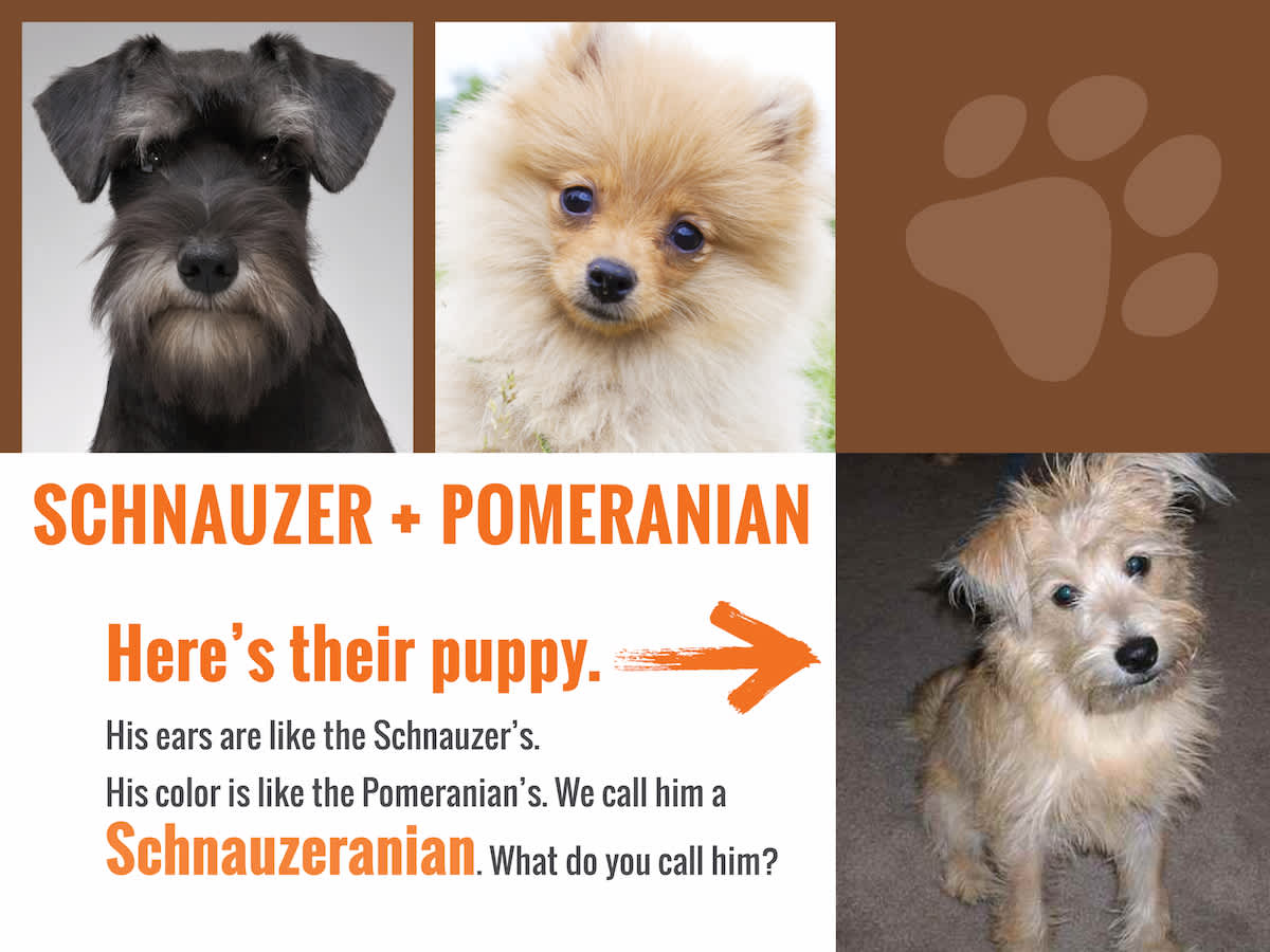 schnauzer-Pom-answer