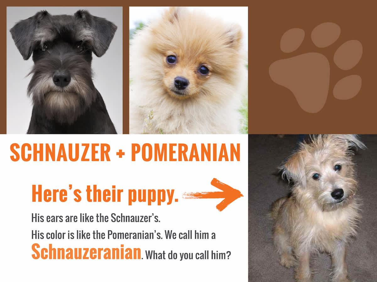 schnauzer-Pom-answer