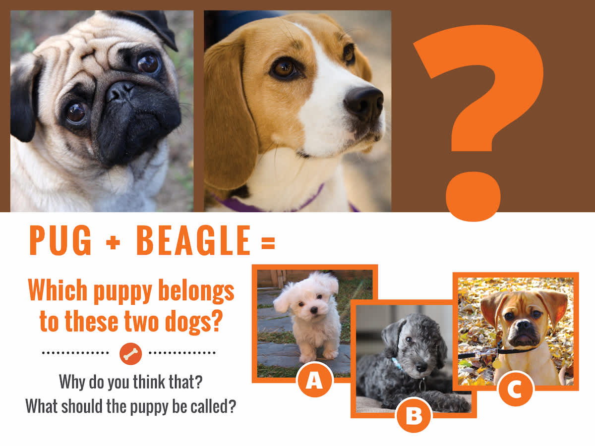 pug-beaglequestion