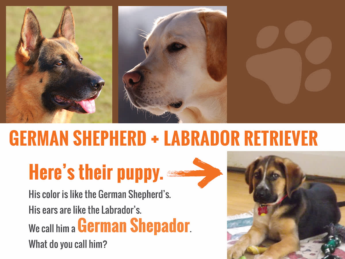 germanshepherd-lab-answer