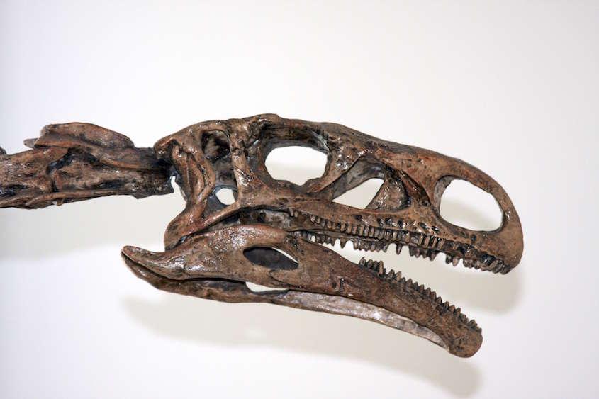 dinosaurskull