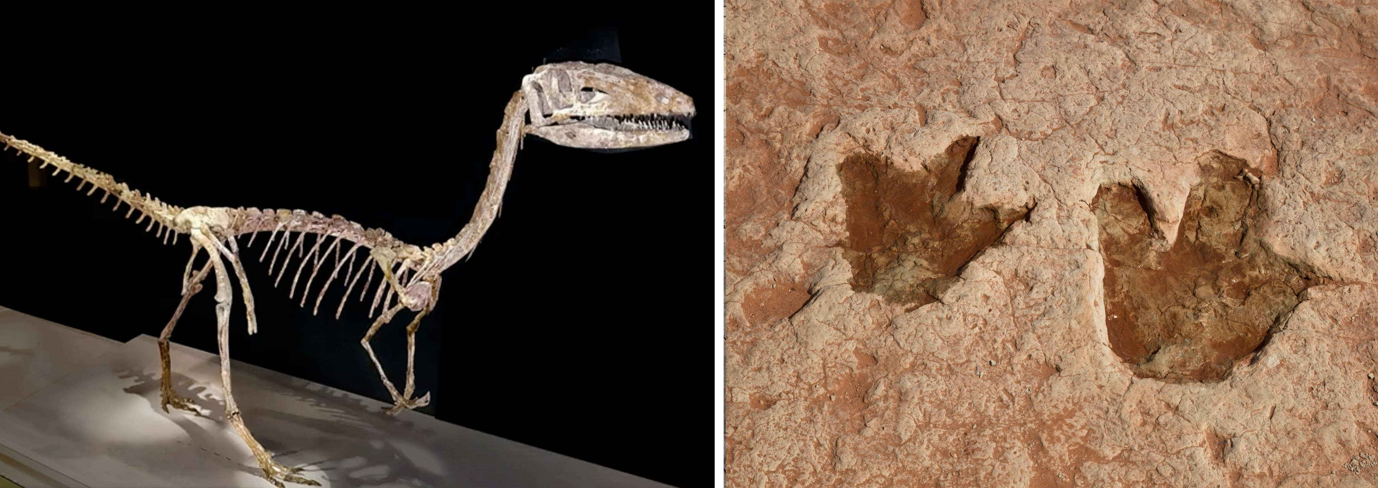 Dinosaur-Skeleton-and-Fossil-Footprints