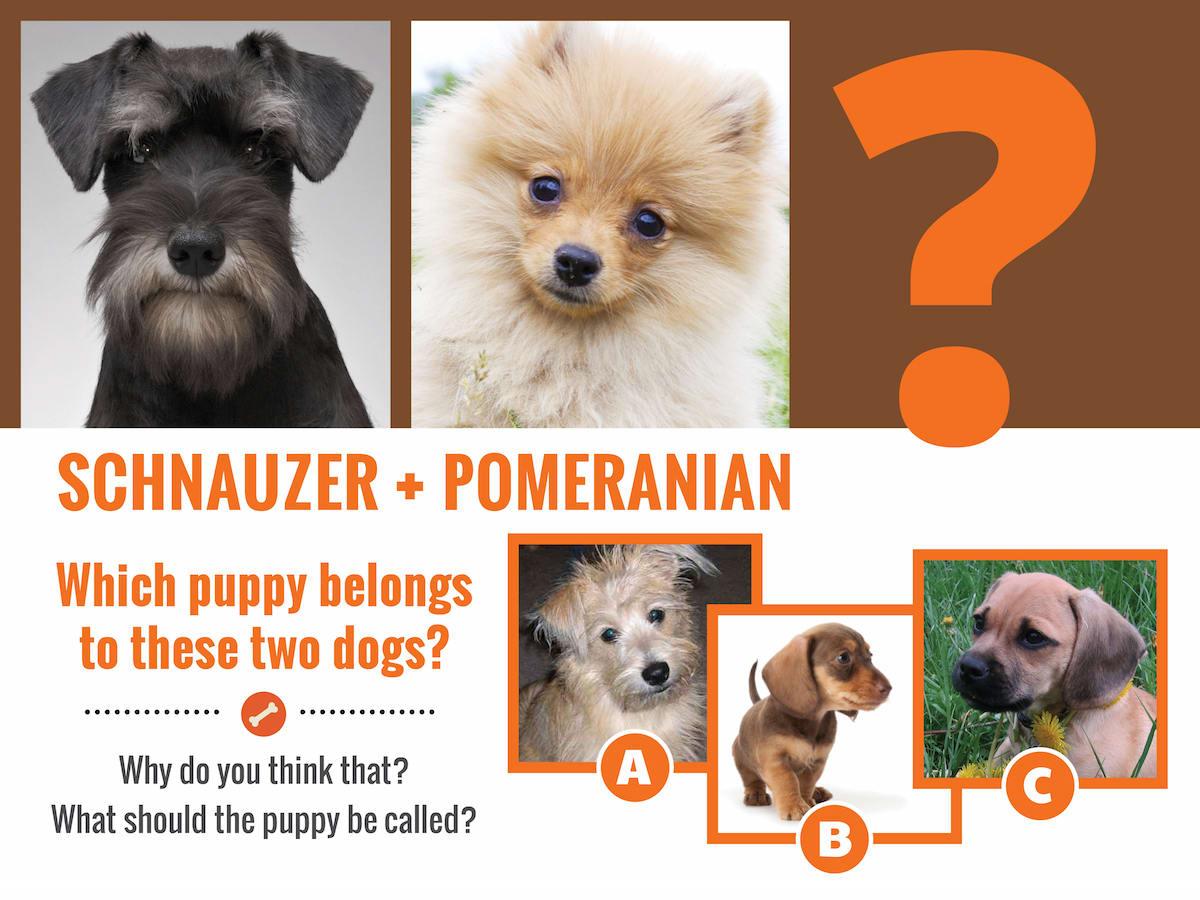 schnauzer-Pom-question
