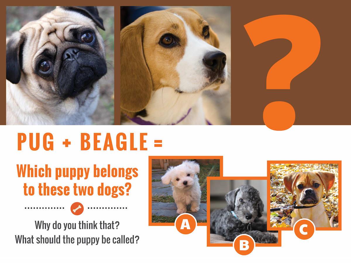 pug-beaglequestion