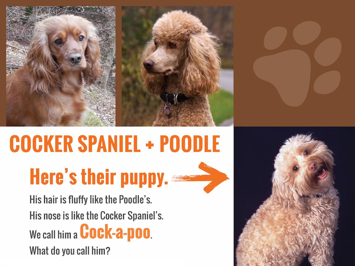 cockerspaniel-poodleanswer